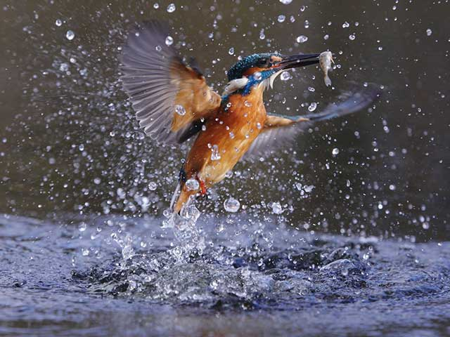 Kingfisher-emerging-from-water-with-fish